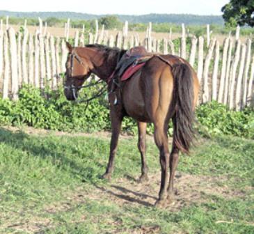Embora seja uma zoonose, o mormo ainda não foi registrado em nenhum ser humano no Brasil, mas os animais correm sério risco (FOTO: HONÓRIO BARBOSA/DIÁRIO DO NORDESTE)