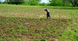 O Sr. José acredita que a roça que ele e o irmão plantaram tem tudo para ser produtiva | Foto: OKariri