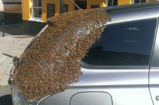 abelha