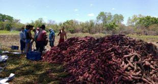 O cultivo de batata-doce só é possível com a ajuda da irrigação (Foto: Divulgação)