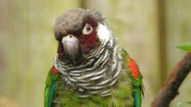 Periquito-cara-suja / Foto: Reprodução Badalo